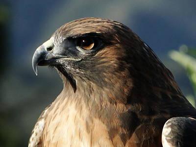 Red-shouldered Hawk Photograph - Red Shoulder Hawk by Liz Vernand