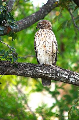 Red Shouldered Hawk Series - Left Profile Print by Roy Williams