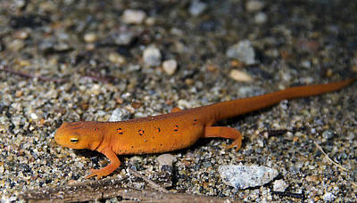 Newts Photograph - Red Spotted Newt by Brendan Reals