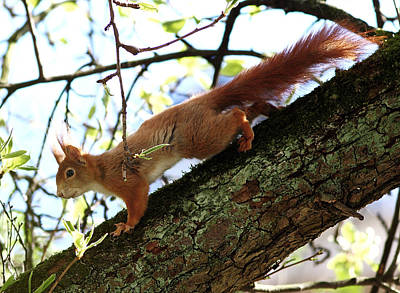The Main Photograph - Red Squirrel In Pear Tree by Achim Mittler, Frankfurt am Main