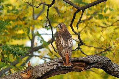 Red Tail Hawk Photograph - Red-tailed Hawk, Buteo Jamaicensis by Darlyne A. Murawski