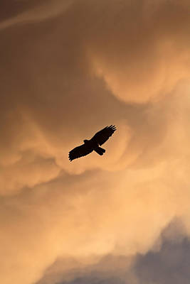 Red-tailed Hawk In Flight In Saskatchewan Print by Mark Duffy