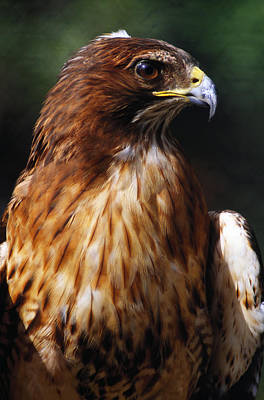 Red Tail Hawk Photograph - Red Tailed Hawk by Natural Selection Ralph Curtin