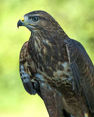 Red Tail Hawk Photograph - Red Tailed Hawk by Pat Exum