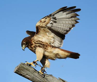 Red Tailed Hawk Print by Paulette Thomas
