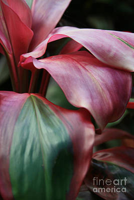 Red Ti - Cordyline Terminalis Print by Sharon Mau