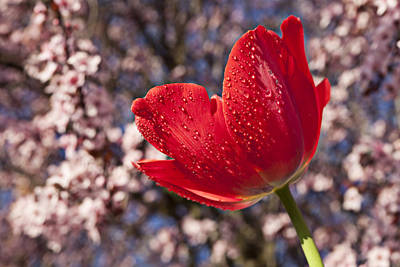 Red Tulip Against Cherry Tree Print by Garry Gay