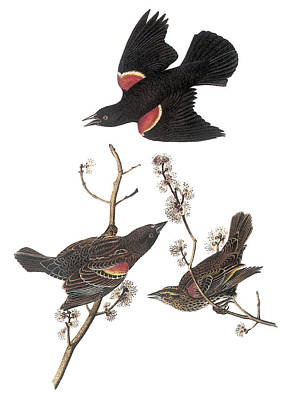 Blackbird Painting - Red-winged Blackbird by John James Audubon