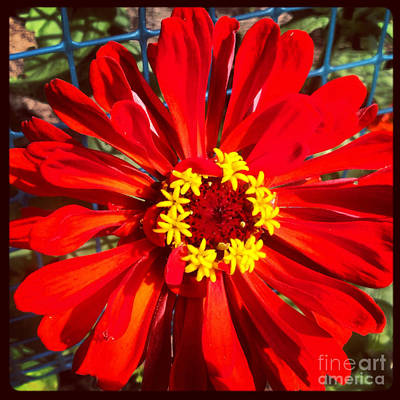 Red Zinnia Print by Christine Segalas