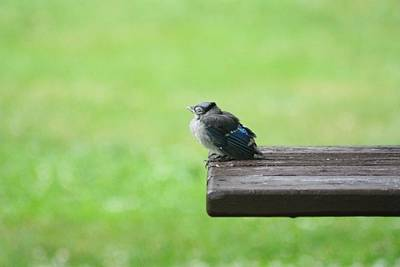 Baby Bluejay Photograph - Relaxing by Charlotte Sevigny