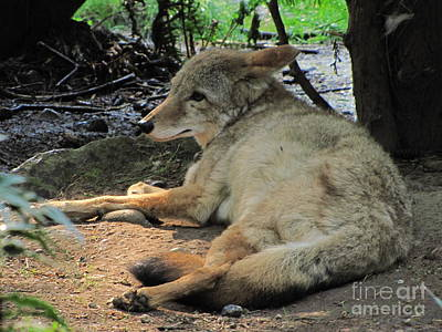 Nature Photograph - Resting Coyote by Sean Griffin