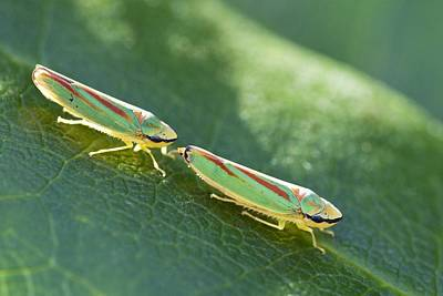 Rhododendron Leafhoppers Courting Print by Adrian Bicker
