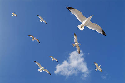 Larus Delawarensis Photograph - Ring Billed Gulls Overhead by Patrick M Lynch