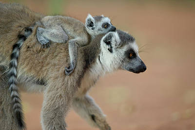 Ring-tail Lemur Photograph - Ring-tailed Lemur Lemur Catta Baby by Cyril Ruoso