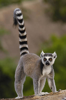Lemur Tail Photograph - Ring-tailed Lemur Lemur Catta Portrait by Pete Oxford