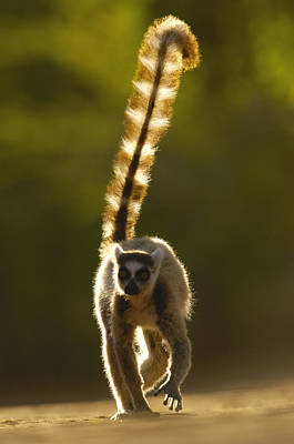 Lemur Tail Photograph - Ring-tailed Lemur Lemur Catta Walking by Pete Oxford