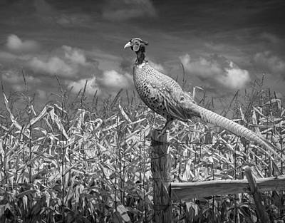 Pheasant Photograph - Ringed Neck Pheasant On A Fencepost By A Cornfield by Randall Nyhof