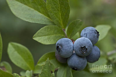 Blueberry Mixed Media - Ripe For The Picking by Kim Henderson