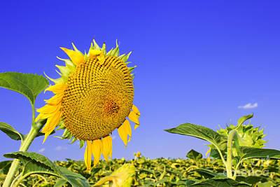 Ripening Sunflower Head  Original by Volodymyr Chaban