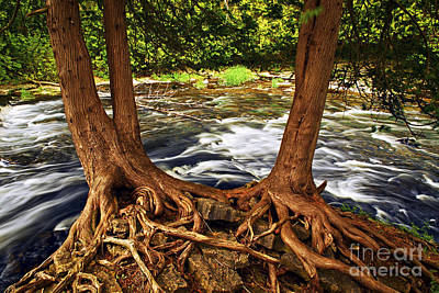 River And Roots Print by Elena Elisseeva