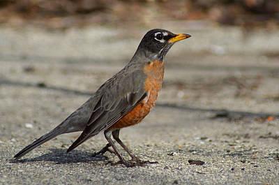 Birds Photograph - Robin by Lisa Phillips