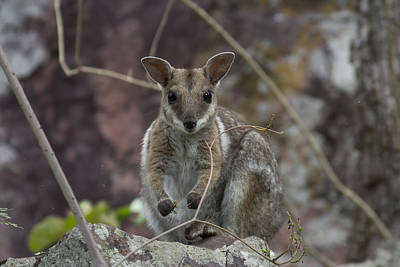 Rock Wallaby V2 Print by Douglas Barnard