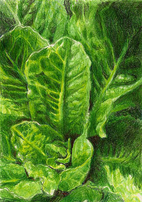 Lettuce Drawing - Romaine Unfurling by Steve Asbell