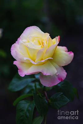 Rose At Dusk Original by John Chatterley