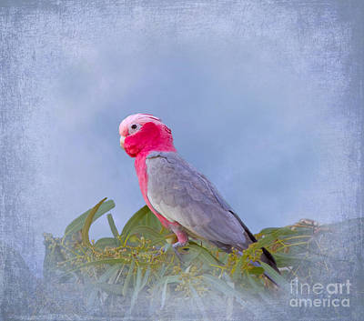 Cockatoo Digital Art - Rose Breasted Cockatoo In A Eucalyptus Tree by Louise Heusinkveld