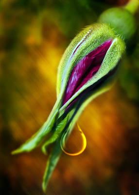 Rose Bud Tear Print by Svetlana Sewell