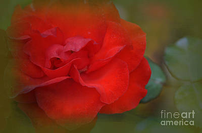 Rose Dream Print by Mary Machare