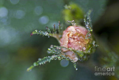 Rose Flower Series 9 Print by Heiko Koehrer-Wagner