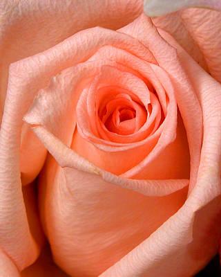 Rose Print by Joe Myeress