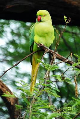 Parakeet Digital Art - Rose Ringed Parakeet by Pravine Chester