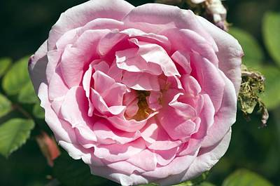 Blanche Photograph - Rose (rosa 'blanche Moreau') by Georgette Douwma