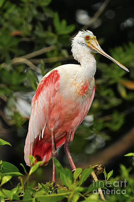 Er Photograph - Roseate Spoonbill by JH Photo Service