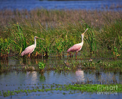 Spoonbill Photograph - Roseate Spoonbills by Louise Heusinkveld