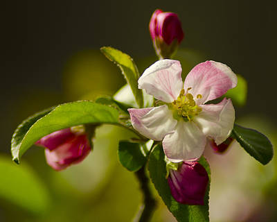 Bike Photograph - Rosey Apple Blossoms by LeeAnn McLaneGoetz McLaneGoetzStudioLLCcom