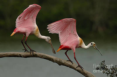 Spoonbill Photograph - Rosiette Spoonbills by Bob Christopher