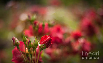 Flower Photograph - Rouge Amongst by Mike Reid