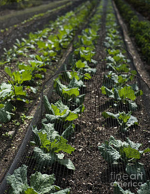 Rows Of Cabbage Print by Anne Gilbert