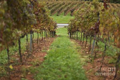 Rows Of Grape Vines Print by Roberto Westbrook