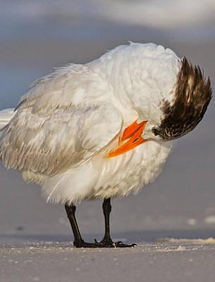 Coastal Birds Photograph - Royal Tern by Betsy Knapp