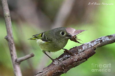 Birdwatching. B A Bowen Photograph - Ruby-crowned Kinglet Nabs A Moth by Barbara Bowen