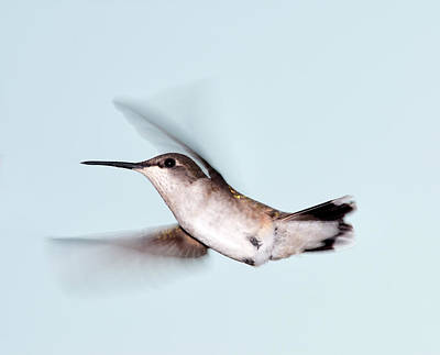 Ruby-throated Hummingbird Photograph - Ruby-throated Hummingbird In Flight by Jim McKinley