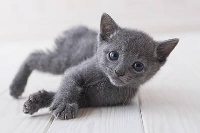 Russian Blue Lying Down On Floor Print by Mixa
