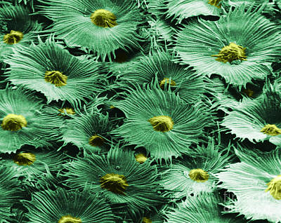 Russian Silverberry Leaf  Print by Asa Thoresen and Photo Researchers