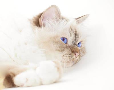 Snout Digital Art - Sacred Cat Of Burma by Melanie Viola