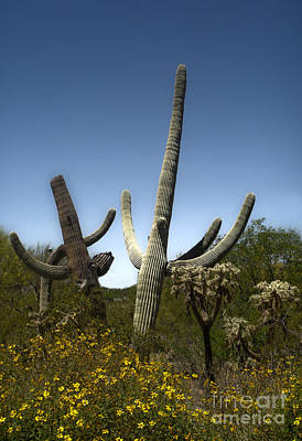 Saguaro Cactus Print by Gregory Dyer