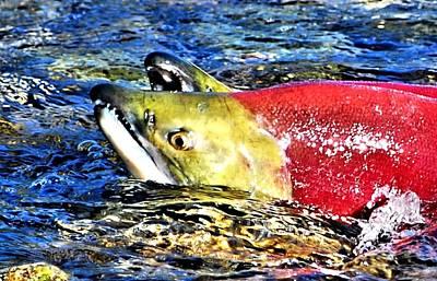 Salmon Photograph - Salmon Struggles by Don Mann